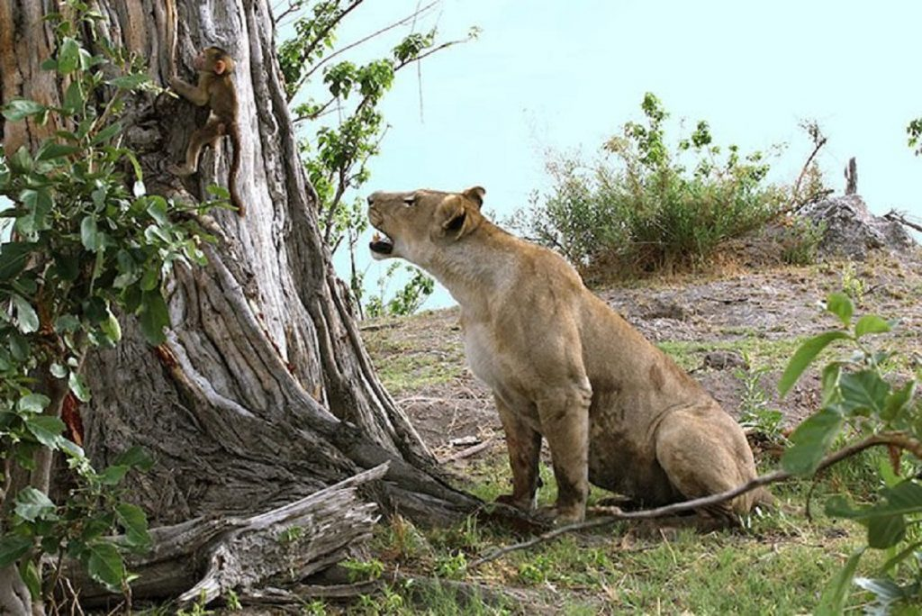 Lioness catches a baby baboon